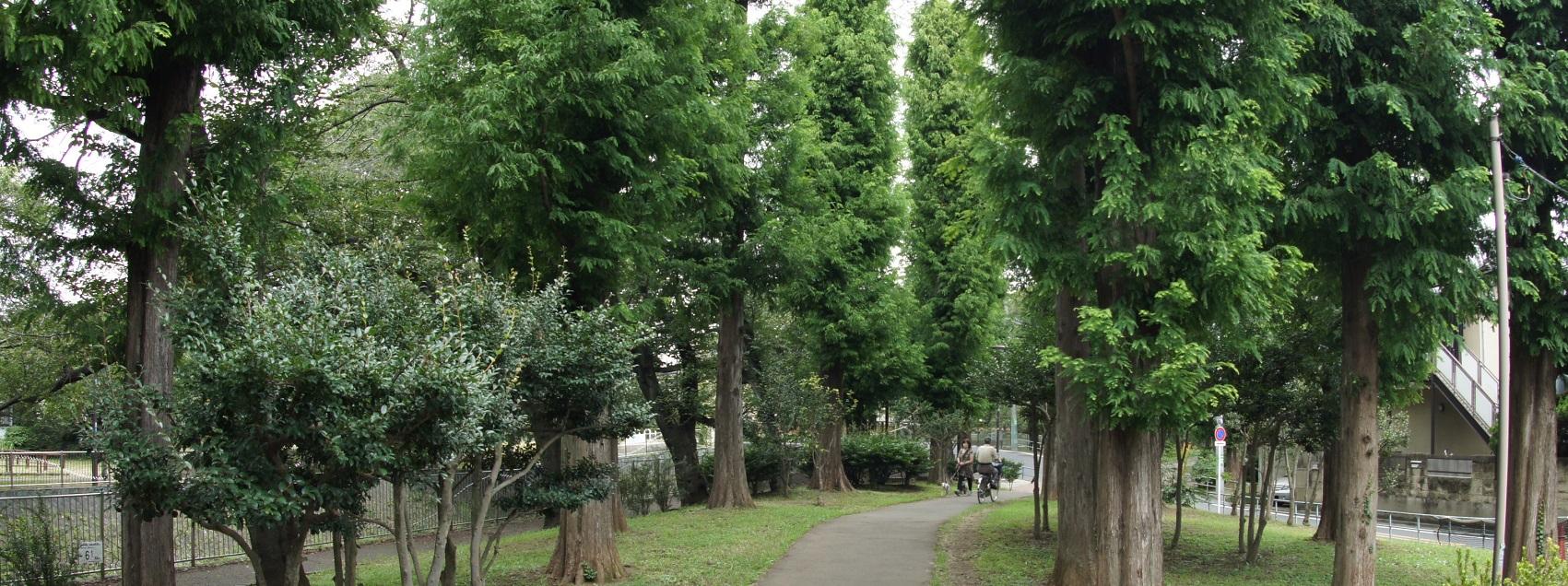 あけぼの杉1409
